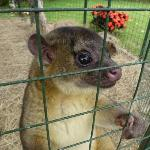 A cute little Kinkajou