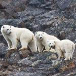 Polar Bear mother