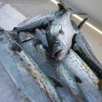 Spanish Mackerel caught on Enterprise Charters trip
