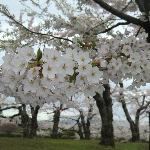 Cherry blossom in early May