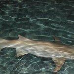 每晚在码头都能看到的鲨鱼
