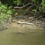 Croc on river bank