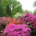 A feast of colour with azaleas