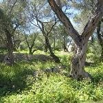 Olive groves on Paxos