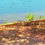 a neighboring iguana