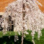 WEEPING CHERRY TREE ON THE GROUNGS