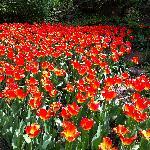 tulips at RBG Rock Garden