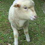 1ヶ月前に生まれた子羊かわいい