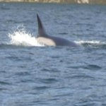 Orca in Desolation Sound (hard to focus)