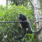 the alpha howler watching out for his women and children :)