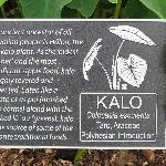 Kalo, perhaps the most vital of the Canoe crops, also known as Taro