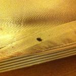 Alive bed bug running around the bed... horrible!!