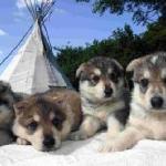 Snow dog puppies