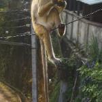Un macaque partage notre petit déjeuner