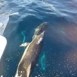 Dolphin at the bow of the boat
