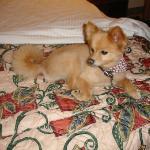 Our Pomeranian Mr. Gus