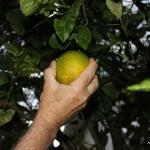 we enjoyed picking and eating fresh oranges in the garden