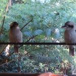 Visiting kookaburras