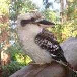 Friendly kookaburra