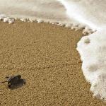 永田浜では海がめを観察できます