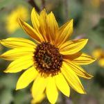 Sunflower outside room in summer