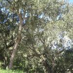 Spanish moss on oak trees