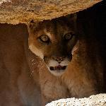 Puma in hiding.