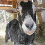 Who doesn't love a goat