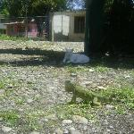 Cat Iguana showdown in the front yard! Don't worry I helped him get away.