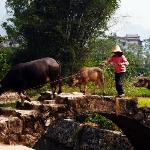 Buffaloes in the area