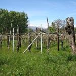 Les vignes juste au dessus de la villa