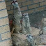 Compare the meercat...