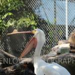 White Pelican Permanent Resident