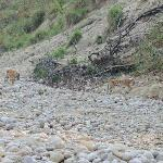Tigers spotted by us near Bijrani river bed