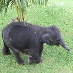 Baby elephant Chang
