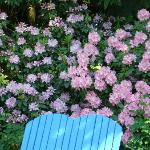 Rhodie with chair in front - place to sit and read and SMELL the flowers......