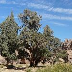 Ancient cypress in Tassili n'Ajjer National Park