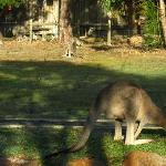 kangaroos on the lawn in front of the cottages