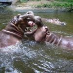 Hippopotamuses - CM Zoo