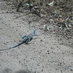 Iguana - Esteban