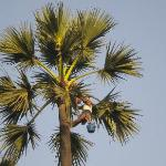 Toddy Tapper on Palm Tree near Powai Lake