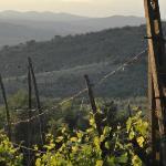 Poggio all'Olmo wine vines