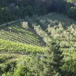 Poggio's wine and olive fields.