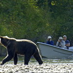 The BEST grizzly bear viewing at Tweedsmuir Park Lodge. Photo: Mike Wigle