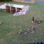 Geese with goslings at entrance to hotel