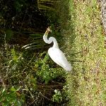 great white heron - Ding Darling