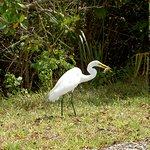 great white heron - Ding Darling