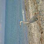 great blue heron at nearby beach