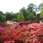 The blaze of colorful azaleas & rhododendrons