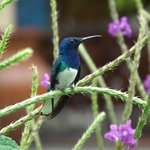 One of the many species of Hummingbirds you can find at Arenal Observatory Lodge